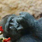 Umí se opice dívat na horor?