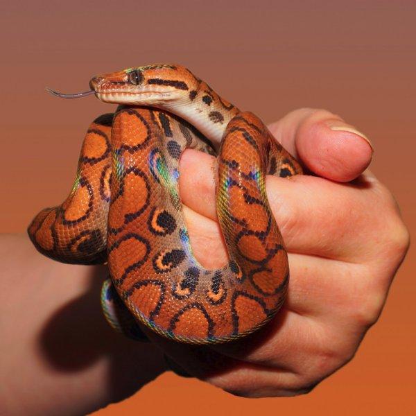 had hroznýšovec duhový