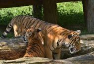 Tygr malajský Zoo Praha