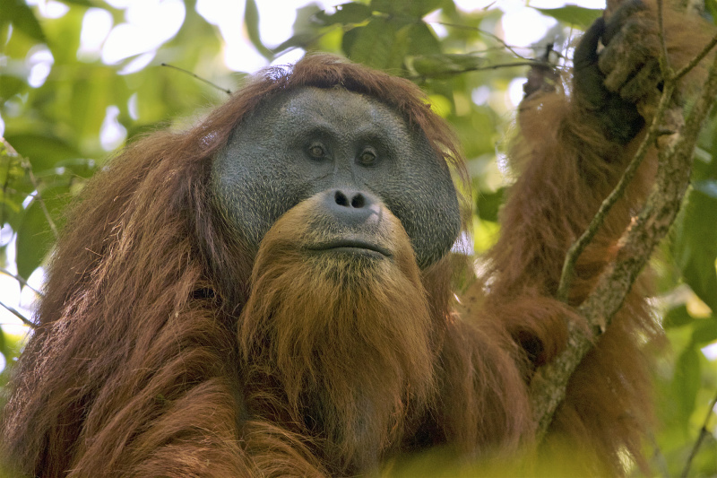 apokalypsa Indonésie orangutan tapanulijský