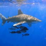 Proč žraloci útočí na lidi?
