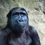 V Německu utratili nejstaršího gorilího samce v Evropě, 55letého Fritze