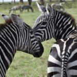 Egyptská zoo vydávala osly za zebry. Přemalovaná zvířata odhalil návštěvník