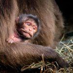 Novinky v zoo: malé dželady a kočkodani