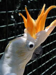 kakadu žlutolící sumbský