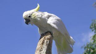 kakadu žlutolící sulaweský