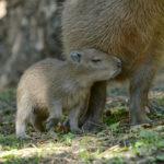 Novinky v zoo: smrt hrocha Slávka a zrození kapybary