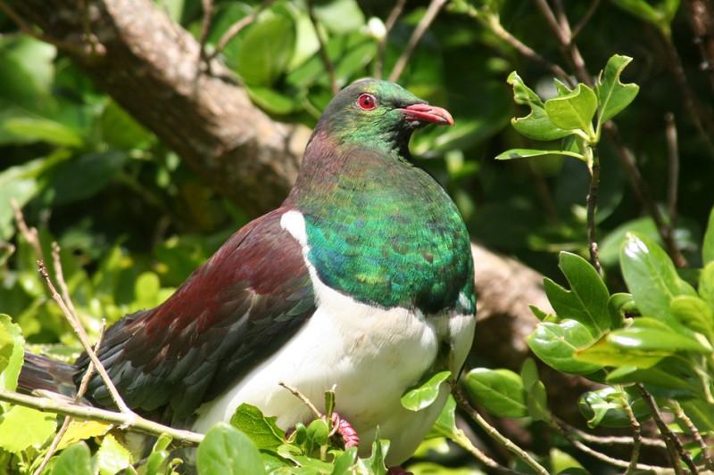 holub maorský kereru kererū