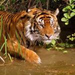Za deset let se populace tygrů v Nepálu téměř zdvojnásobila