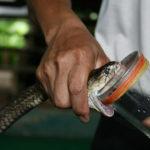 Výroba hadího protijedu neboli antiséra