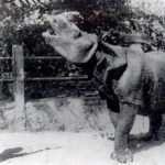 Nosorožci jávskému hrozí vyhynutí. Kvůli případné další vlně tsunami