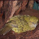 Kakapové letos opět hnízdí!