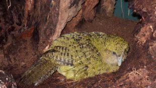 kakapové: samice na hnízdě kakapové