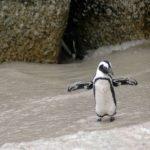 Tučňáci se ztrácejí. Z výpravy za potravou se nedokážou vrátit zpět