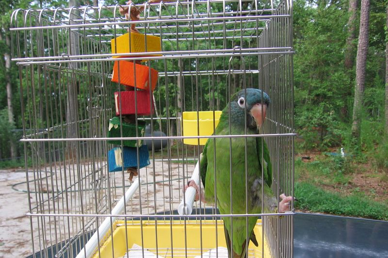 aratinga papoušci
