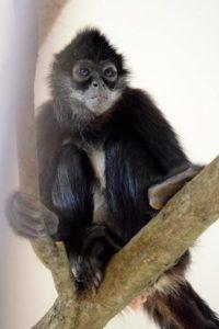 chápan středoamerický mexický zoo děčín