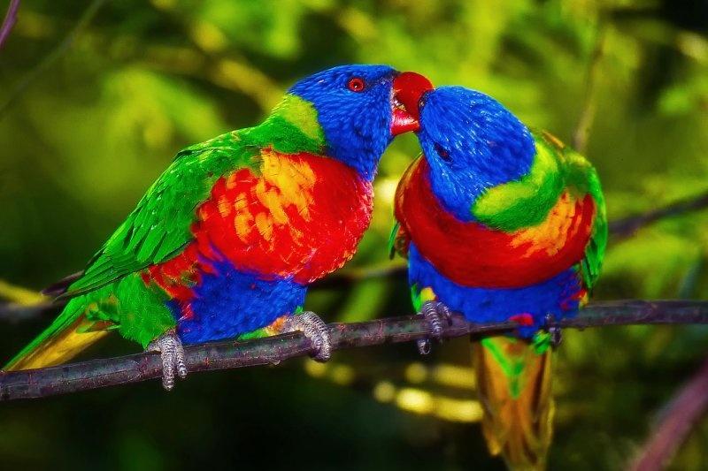 lori papoušci