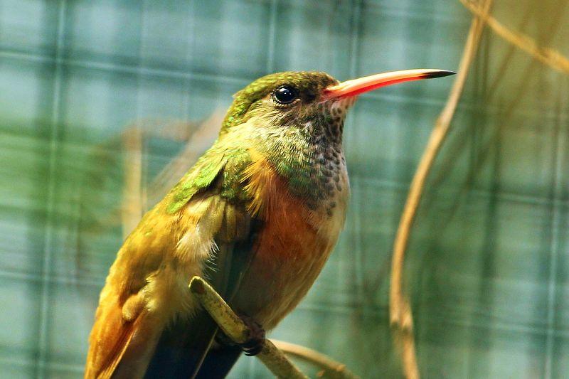 kolibřík zoo plzeň