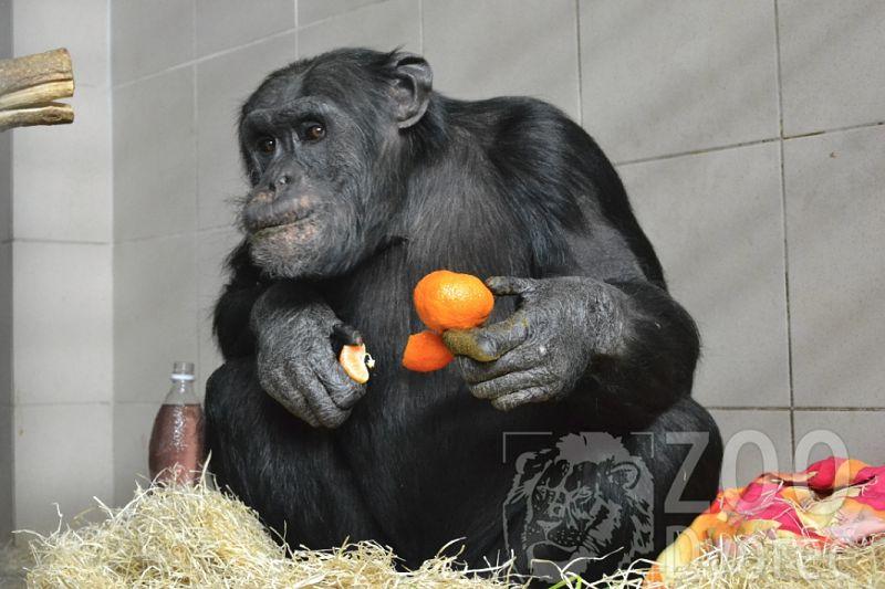 šimpanz Bongo