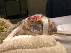 kakapo soví po operaci mozku