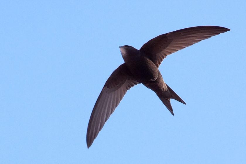 rorýs za letu