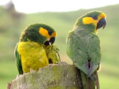 arara žlutouchý Loro Parque