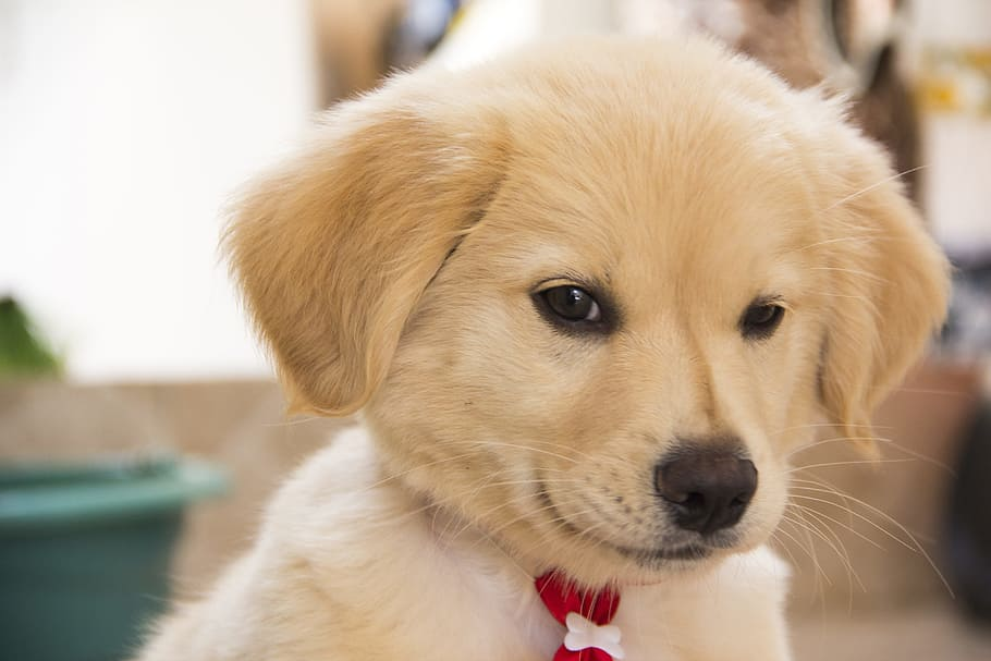 štěně psí puberta